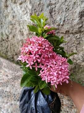 pohon bunga asoka