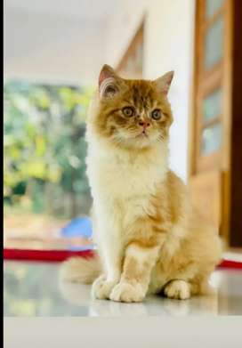 Persian cat cat male 8 month old semi doll mix