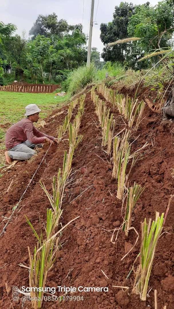 Jual Tanaman Vetiver Penahan Erosi Dan longsor Tanah 0