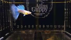 Ikan Guppy Sky Blue
