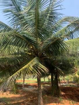 Coconut farm with house