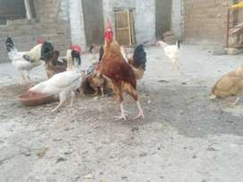 Desi egg laying Hens