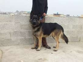 I want to dale my German Shepherd Male age 15 months