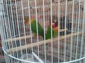 Separang lovebird ijo + sangkar