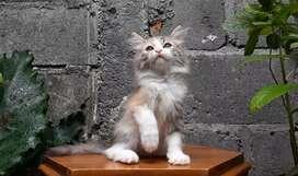 kucing persia medium betina calico lucu