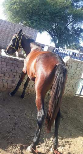 Lal ghori /red filly