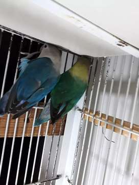 BIRDS PARBLUE BREEDER 200% with CAGE