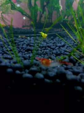 Ikan udang hias red rili untuk aquarium dan aquascape