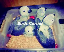 African Grey Parrot chicks available