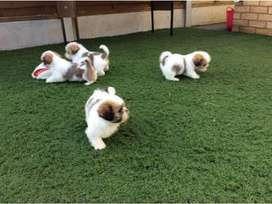 Top pedigree shihtzu puppies from imported and champion lines