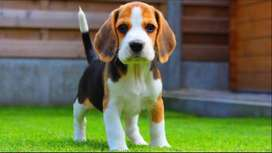 Beagle imported puppy
