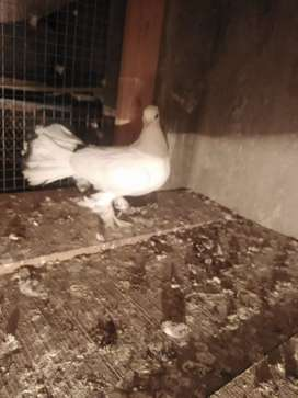 lakkay fantail for sell