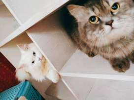 Male and female pergrant persian cat