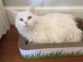 Friendly Persian kittens available in all colours