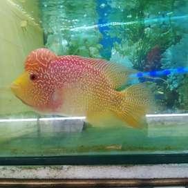 Ikan louhan golden base