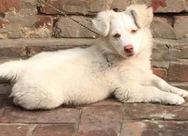 Russian puppy Pure white with pink nose.age 3 month