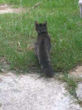 Kucing Persia  jantan dan betina