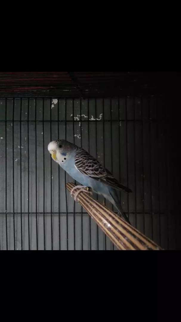 burung parkit mutasi warna grey 0