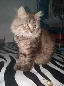 Kucing persia(medium jantan)umur 4bulan.sehat lincah dan manja