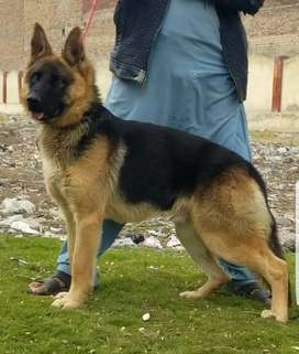 German Shepherd double coat nail 10 mahine a for sale
