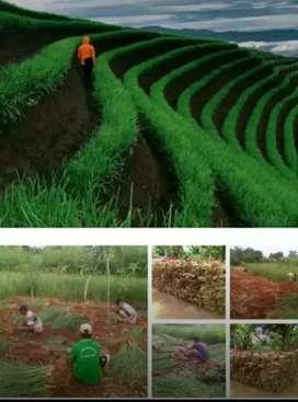 Petani  Khusu Taman Sereh Dan Taman Rumput Vetiver Tebing Jalan Tol