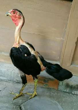 Ayam mangon/magon betina gundul 4bln