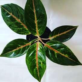 Aglaonema hibrida thailand
