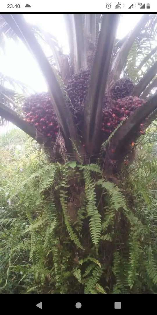 Kebun Sawit seluas 57Ha di Kabupaten Kuburaya Ambawang 0
