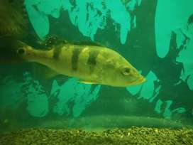 Chichlid  fish