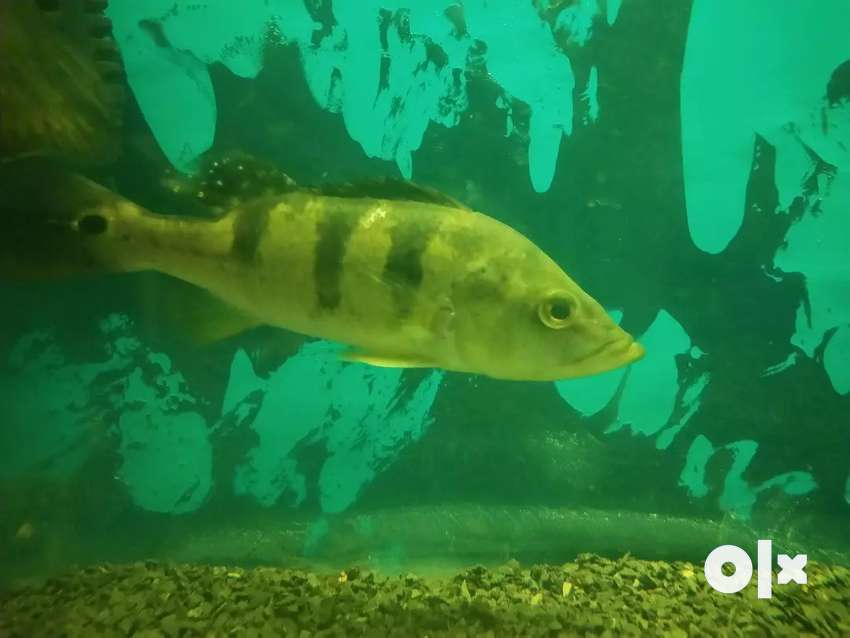 Chichlid  fish 0