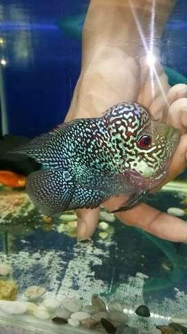 Ikan Louhan Lohan Bonsai Cencu