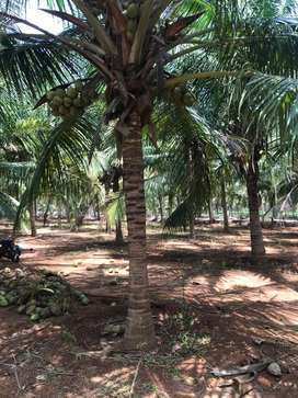 Coconut farm road base.8 acer agricultural land