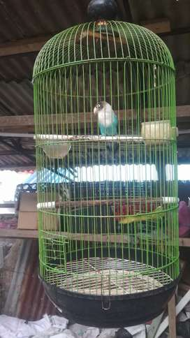 Burung lovebird dan kandang