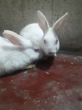 Rabbits pair Male red eyes