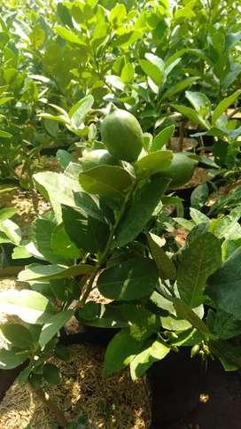 Kebun buah dan kayu grosir atau eceran