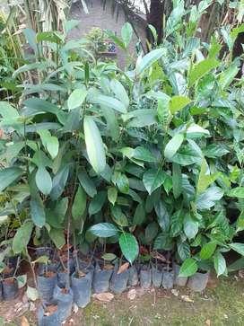 Jual bibit nangka sayur murah di Sumatera Utara
