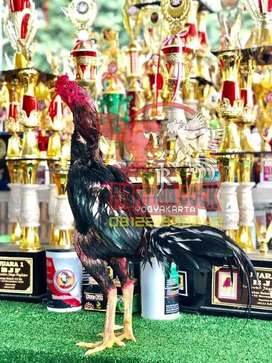 Jago Bangkok F1 di Mataram