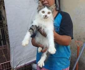 Open adopsi kucing persia umur 4bulan...