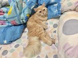 Kucing persia Jantan