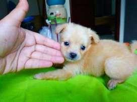 Jual Anak Anjing Pom Mix, Kualitas Top