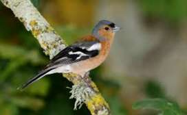Chaffinch Patthy for sale 2000 each