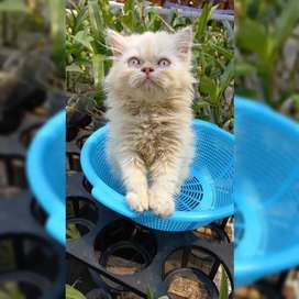 Kucing kitten persia flat nose cream big bone 2 bulan