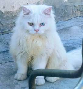 Beautiful Persian white color odd eyes cat available