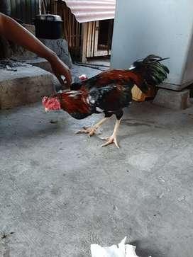Ayam jantan (birma)