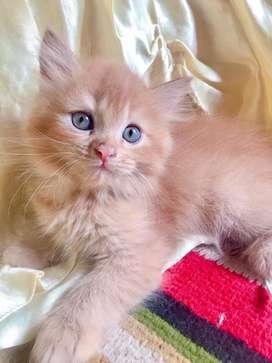 Anakan persia kitten betina