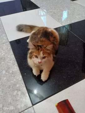 Lepas adop kucing persia medium