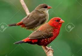 Strawberry finch singing adult pair