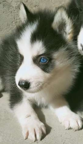 Husky puppy male
