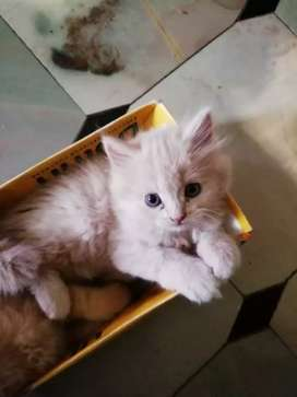 Persian kittens and cats