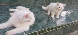 Lepas Adopt Kucing Putih